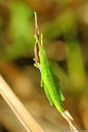 擬態効果ゼロのオンブバッタ幼虫
