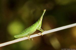 オンブバッタの若齢幼虫