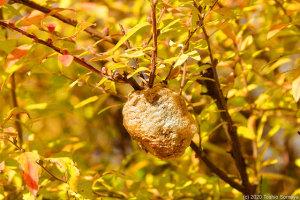 紅葉に紛れるオオカマキリの卵のう
