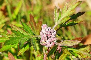 ヨモギに薄紫色の花が?・・