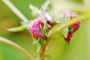 ヨモギの葉に造られた虫えい