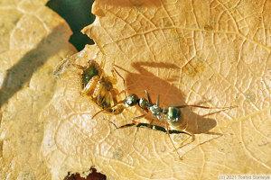 重い餌を運搬中の働きアリ