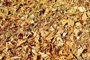 降り積もった枯れ落ち葉