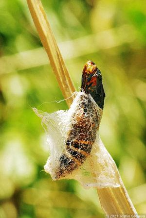 枯れ葉で見た脱皮過程の幼虫