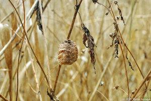 水辺の枯れ草で見たオオカマキリの卵のう