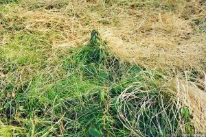 緑の草がんばる