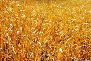 明るい褐色に染まる草むら