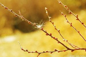 ユキヤナギの冬芽とタンポポの綿毛