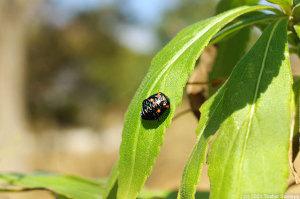 テントウムシの蛹