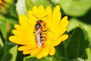 花壇の花で吸蜜するハチ