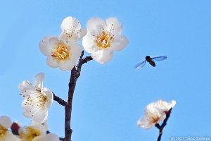 梅の花の品定めをするヒラタアブの仲間