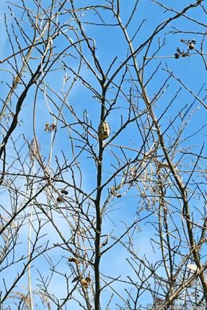 落葉樹に産み付けられたカマキリの卵のう