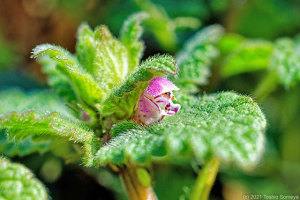 ヒメオドリコソウの花開く