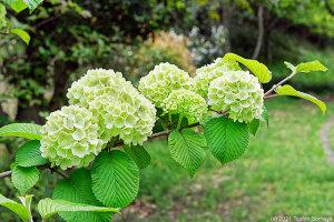 手毬に似た花で・・
