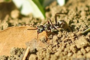 巣穴造成中の働きアリ