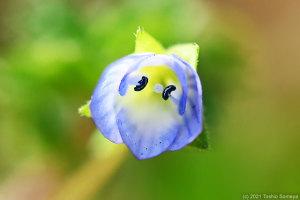 中途半端な開き方のオオイヌノフグリの花