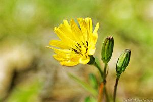 オニタビラコの花開く