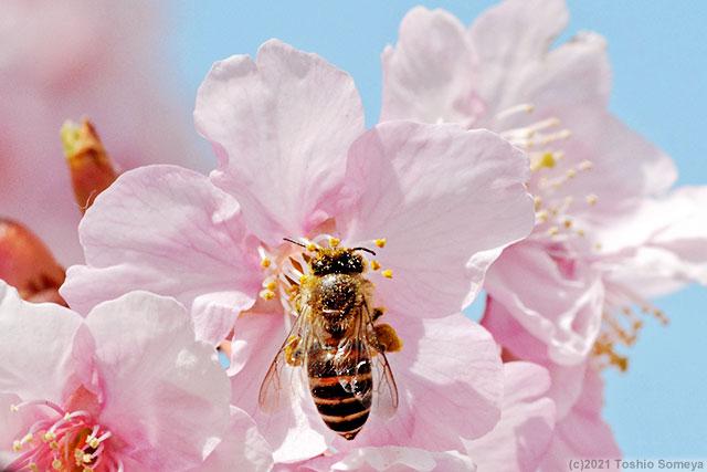 カワヅザクラの花で吸蜜するハチ