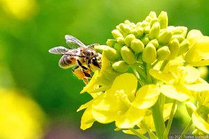ナノハナ畑のハチ