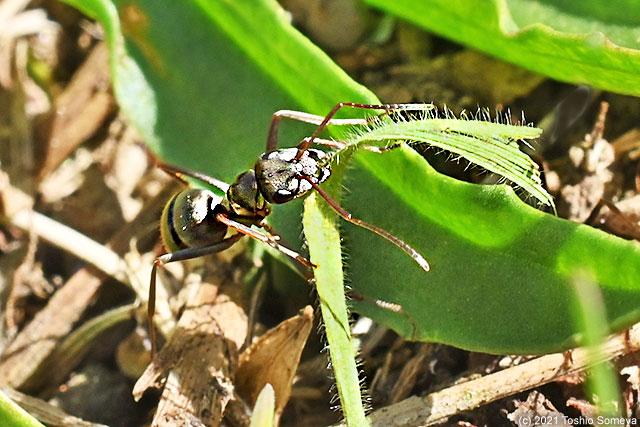 緑色の草の葉を運ぶアリ