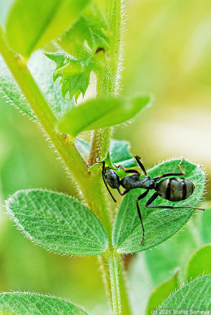 花外蜜腺から吸蜜するアリ