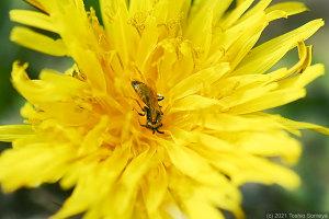 タンポポの花に潜り込んでいたハチ