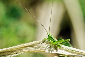 止まっている葉の色に無頓着なヤブキリ幼虫