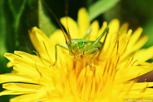 タンポポの花をかじるヤブキリ幼虫