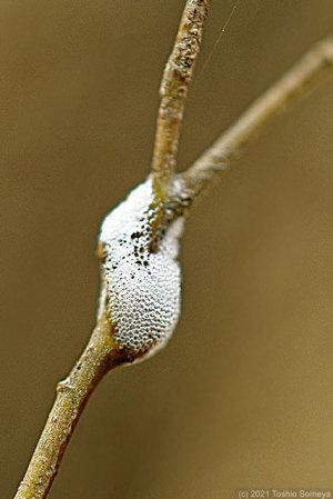 幼木にとりついたアワフキムシの泡シェルター