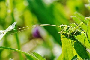 ヤブキリ幼虫の長い長いセンサー