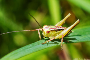 薄紅色が特徴のキリギリス若齢幼虫