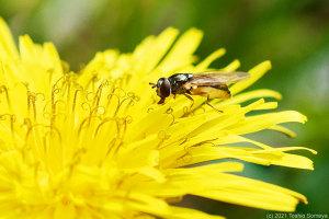 タンポポの花で吸蜜するアブ