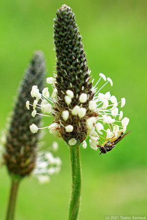 ヘラオオバコの花で吸蜜するアブ