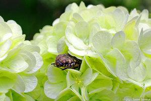 花に潜り込んでたハナムグリ