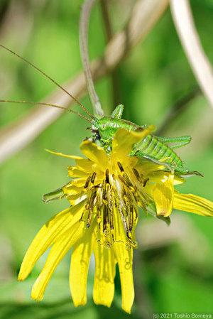 春の野の花を破壊するヤブキリ幼虫