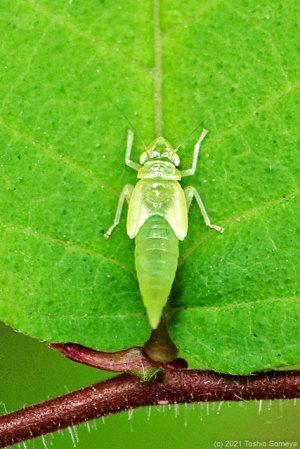 吸汁中のヨコバイ幼虫