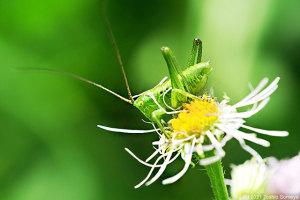 ハルジオンの花を喰い漁るヤブキリ幼虫