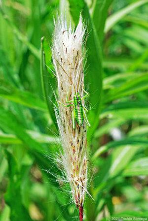 チガヤの穂に止まるヤブキリ幼虫