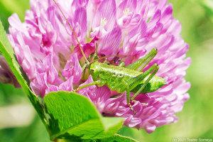 アカツメクサの花で食事中のヤブキリ幼虫