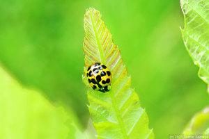 ナミテントウ(多紋型)の成虫