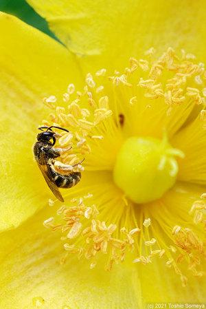 キンシバイの花で吸蜜するハチ