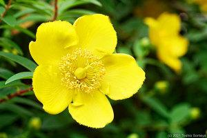 キンシバイの花開く