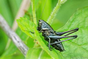 ヒメギス幼虫
