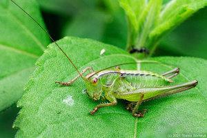 成長したキリギリス幼虫