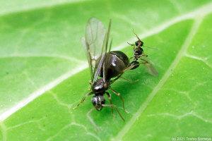 ハチの一種の交尾行動