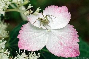 ガクアジサイの花にいたササグモ