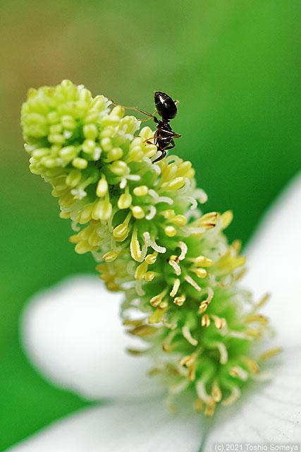 ドクダミの花で食事中のアリ