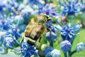 ガクアジサイの花にとまるヒメトラハナムグリ