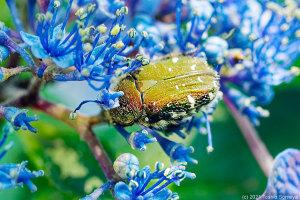 ガクアジサイの花にとまるコアオハナムグリ