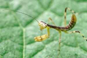 ハラビロカマキリ幼虫のお尻曲げポーズ